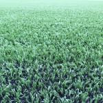 ロングパイル人工芝